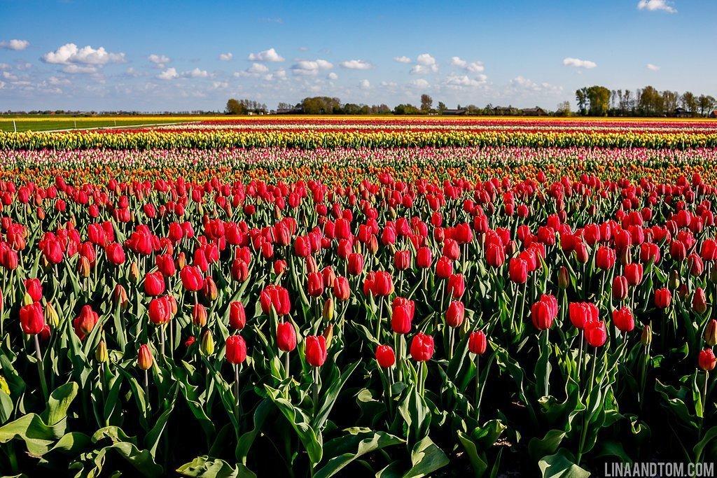 Amsterdam tulip photography - engagement shoot